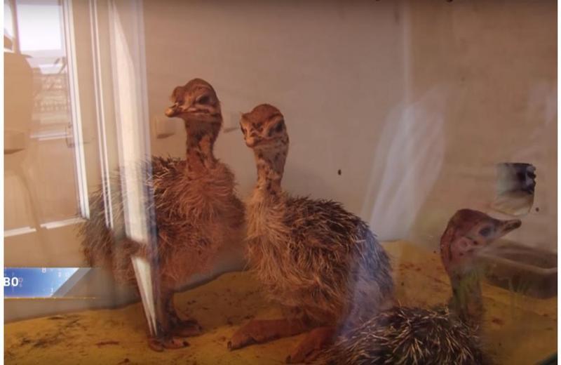 ВКемеровском районе наферме вылупились страусята
