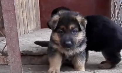 Жителю Кузбасса угрожает 5 лет тюрьмы закражу щенков овчарки